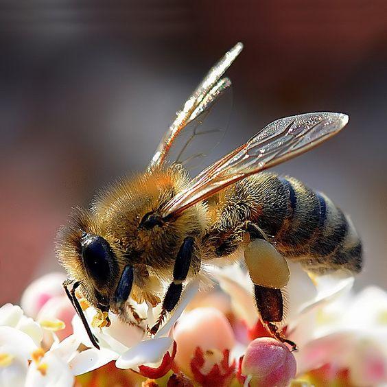 despre-albine